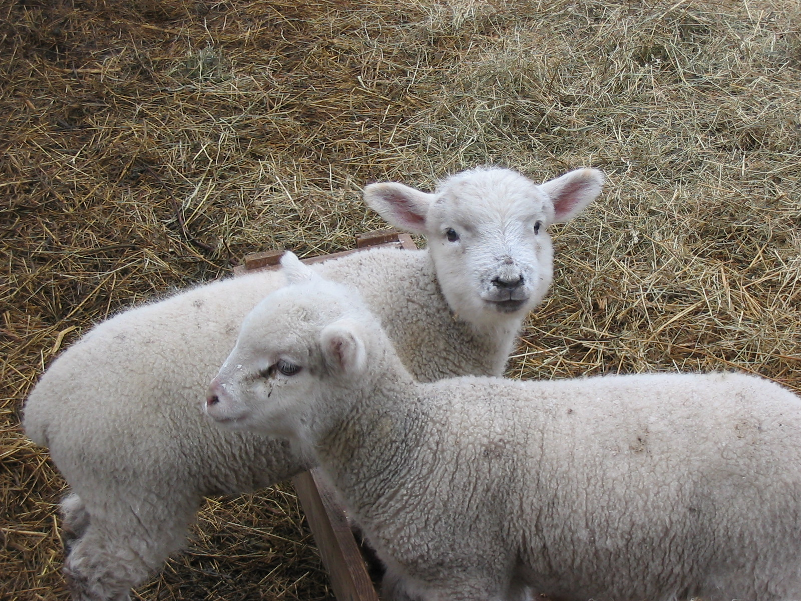 Two Baby Sheep