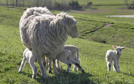 Three Baby Sheep Nursing on Mother