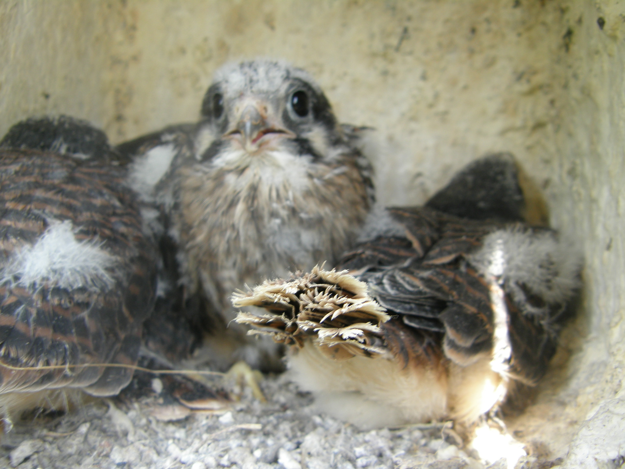Baby Kestrels in the Nest