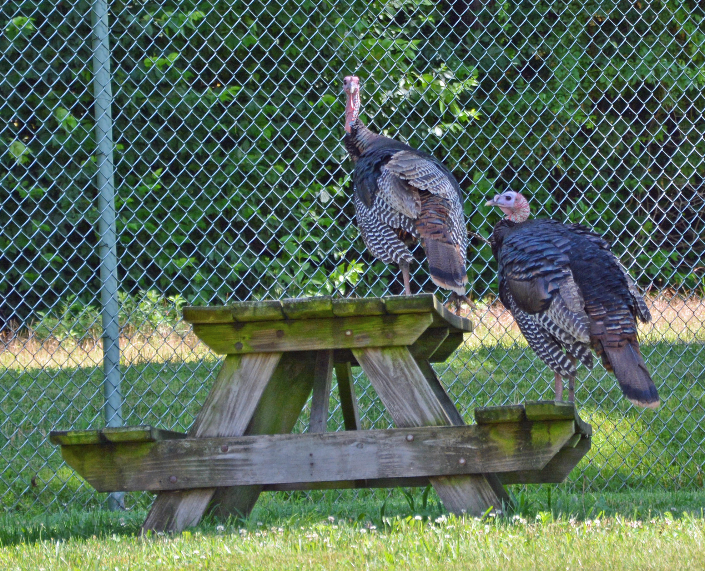 Two Turkeys waiting for our Open House?