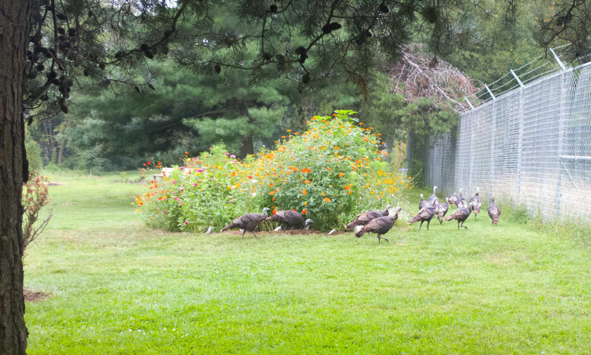 Turkeys at the Pollinator Garden