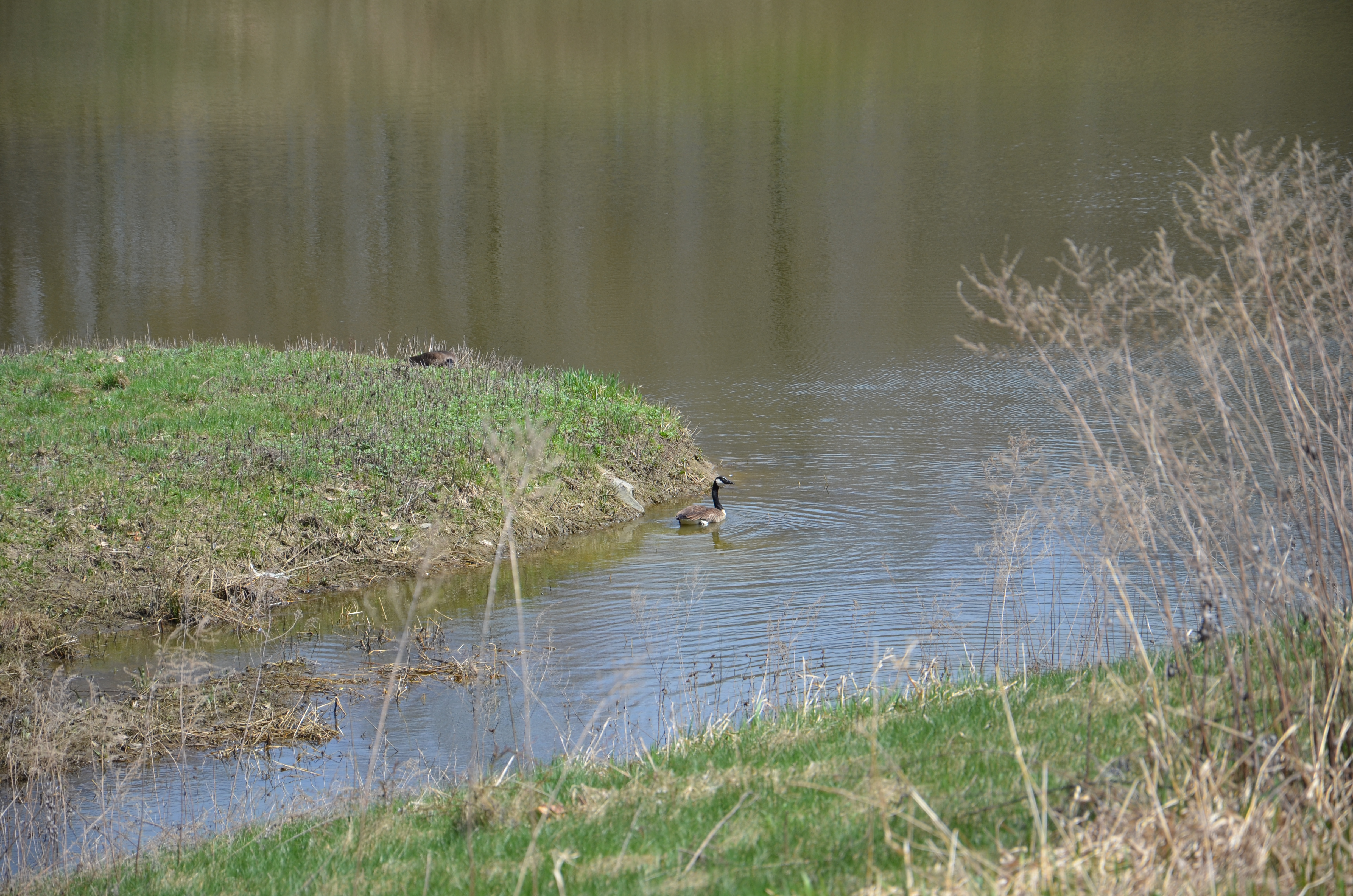 Canada Goose Nesting at Sedimentation Pond 7