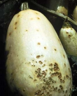 Example of diseased vegetable